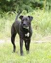 Boxer Pitbull mixed breed dog with underbite Royalty Free Stock Photo