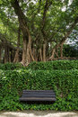 Unoccupied bench vines and big old trees one wooden in front of under at the hong hong park in china Royalty Free Stock Photo
