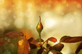 Unopened rosebud against magical garden background in warm vintage color tones Stock Image