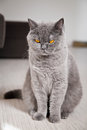 Unpleased gray british cat close up sitting shorthair he is very Stock Images