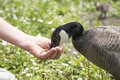 Unrecognisable hand feeding barnacle goose Royalty Free Stock Photo