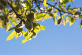 Unripe almonds on the twig a with a blue sky background Royalty Free Stock Image