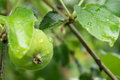 Unripe apple among foliage on a branch after a rain close up Stock Image