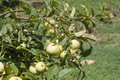 Unripe apples in a ecological orchard Stock Photo