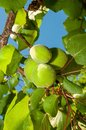 Unripe apricots green detail against sky Royalty Free Stock Images