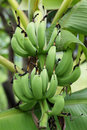 Unripe bananas in the jungle close up Stock Image