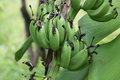Unripe bananas in the jungle close up Stock Photography
