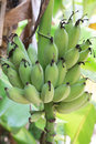 Unripe bananas on a tree Stock Photo