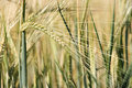 Unripe barley Stock Photography