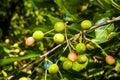 Unripe cherries detail green against leaves Royalty Free Stock Image