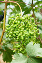 Unripe grape the close up of fruit cluster of Stock Photos