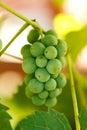 Unripe grape cluster small summertime Stock Photo
