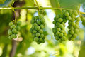 Unripe grape clusters on branch summertime Stock Photography