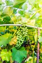 stock image of  Unripe grape genus Vitis hanging on a vine