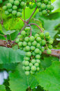 Unripe grape green on the bunch Stock Image