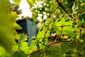 Unripe grape with leafs and branches Stock Images