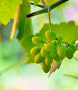 Unripe grape in vineyard shoot natural background Stock Photos