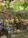 Unripe grapes Royalty Free Stock Images