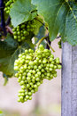 Unripe grapes Royalty Free Stock Photography