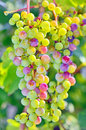 Unripe grapes in summer time Stock Photo