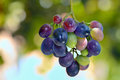 Unripe grapes young in garden Stock Images
