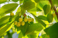Unripe green cherries on tree spring day Royalty Free Stock Photography