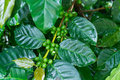 Unripe green coffee beans on coffee tree. Royalty Free Stock Image