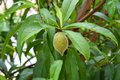 Unripe green peach fruit growing on a peach tree. Royalty Free Stock Photo