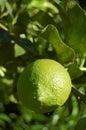 Unripe lemon Royalty Free Stock Photo