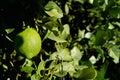 Unripe lemon Royalty Free Stock Image