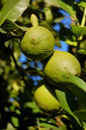 Unripe lemon Royalty Free Stock Photos