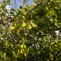 Unripe lemon fruits on the tree Royalty Free Stock Photo
