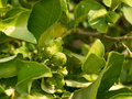 Unripe limes on a tree Royalty Free Stock Photo