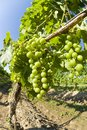 Unripe Merlot Grapes in a Vineyard Royalty Free Stock Images