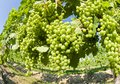 Unripe Merlot Grapes in a Vineyard Stock Photography
