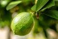 Unripe Meyer Lemon on Tree Royalty Free Stock Photo