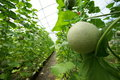 Unripe netted melon melons in greenhouse Royalty Free Stock Photo