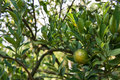 Unripe orange on the tree green Royalty Free Stock Photography