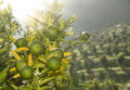 Unripe oranges on a tree branch Royalty Free Stock Image