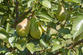 Unripe pears in a ecological orchard Stock Photography