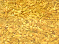 Unripe spelt grain watered Stock Photo