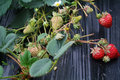 Unripe stawberry and ripe stawberry in modern greenhouseï œwith a flowers and leaves Stock Image