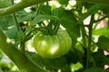 Unripe tomato Royalty Free Stock Images