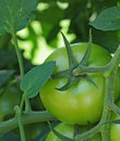 Unripe tomato Royalty Free Stock Photo