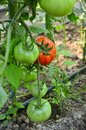 Unripe tomato growing in a greenhouse Royalty Free Stock Images