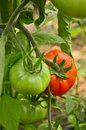 Unripe tomato growing in a greenhouse Royalty Free Stock Photos