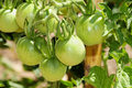 Unripe tomatoes Stock Photography