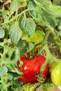 Unripe tomatoes Royalty Free Stock Images