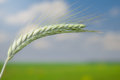 Unripe wheat on blue sky field background Royalty Free Stock Photos