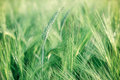 Unripe wheat wheat field green Royalty Free Stock Photos